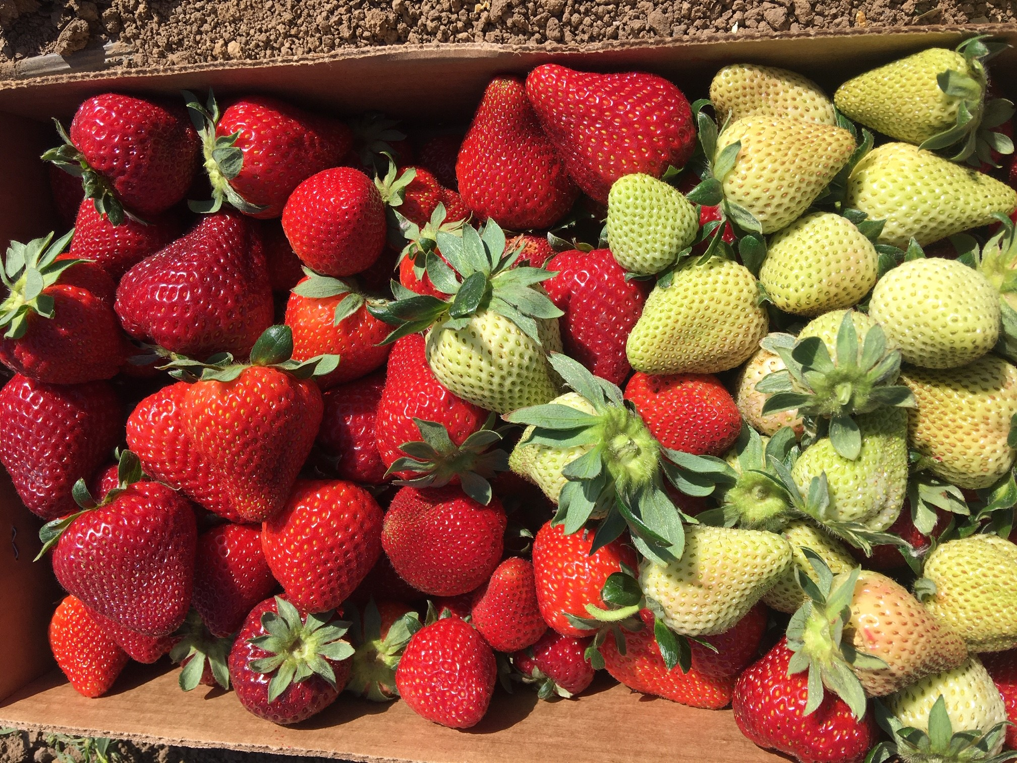 Local Brentwood strawberries